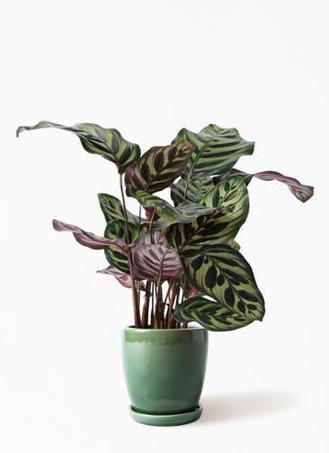 観葉植物 カラテア マコヤナ 4号 アステア トール グリーン 付き