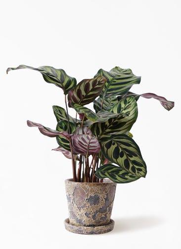 観葉植物 カラテア マコヤナ 4号 ハレー カーキー 付き