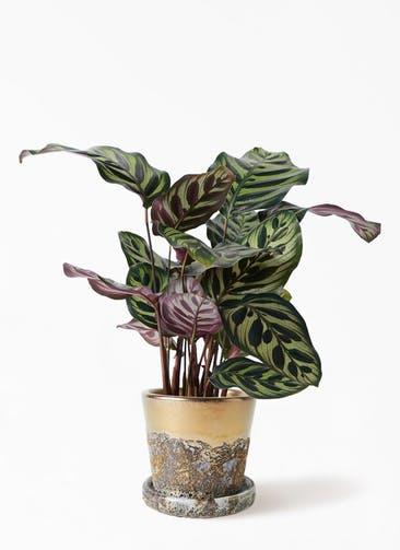 観葉植物 カラテア マコヤナ 4号 ハレー ブロンズ 付き