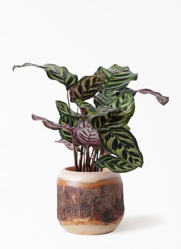 観葉植物 カラテア マコヤナ 4号 マンゴーウッド 付き