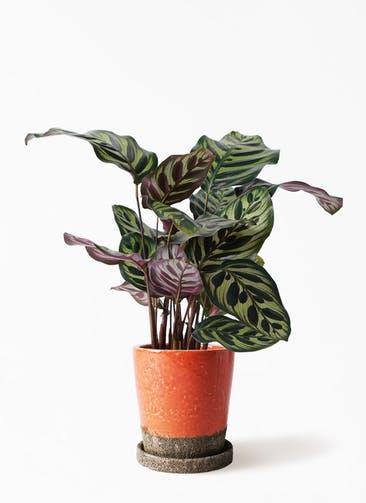 観葉植物 カラテア マコヤナ 4号 ヴィフポット オレンジ 付き