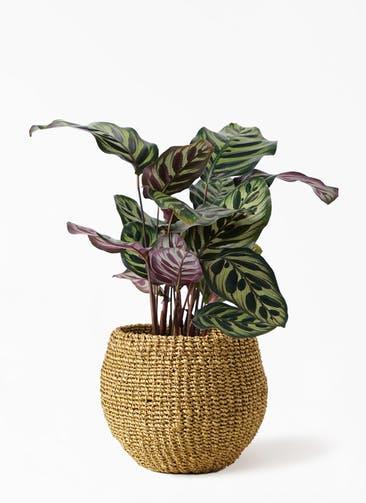 観葉植物 カラテア マコヤナ 4号 アバカバスケット オリーブ 付き