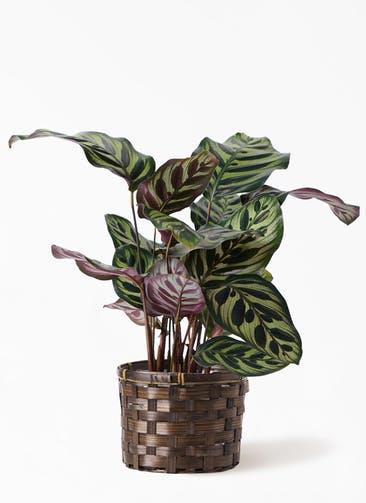 観葉植物 カラテア マコヤナ 4号 竹バスケット付き