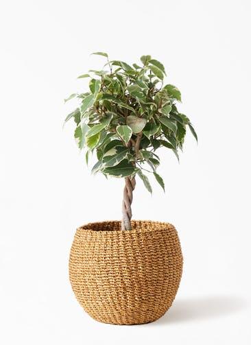 観葉植物 フィカス ベンジャミン 4号 プリンセス アバカバスケット タン 付き