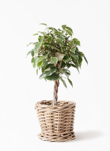 観葉植物 フィカス ベンジャミン 4号 プリンセス グレイラタン 付き