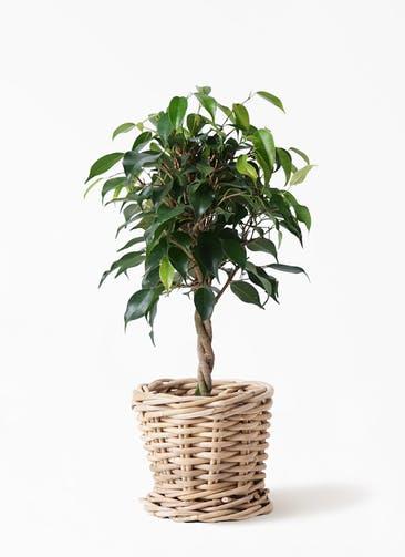 観葉植物 フィカス ベンジャミン 4号 玉造り グレイラタン 付き