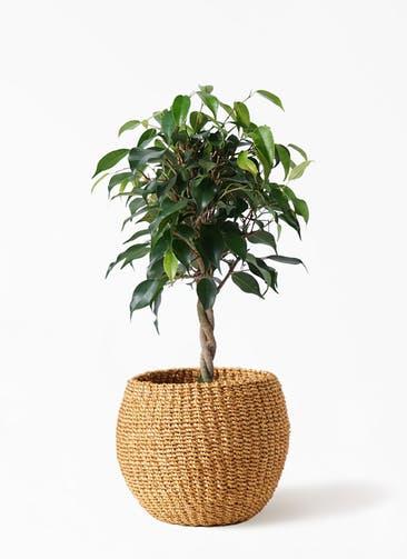観葉植物 フィカス ベンジャミン 4号 玉造り アバカバスケット タン 付き