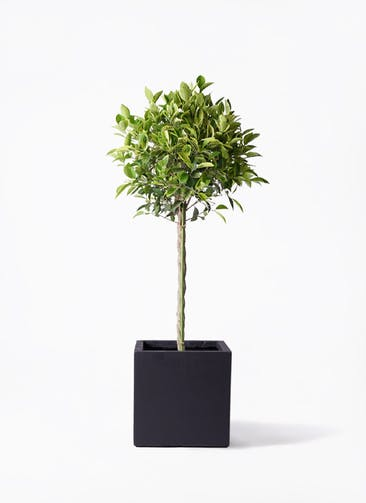 観葉植物 フィカス ベンジャミン 8号 ゴールデンスポット ベータ キューブプランター 黒 付き