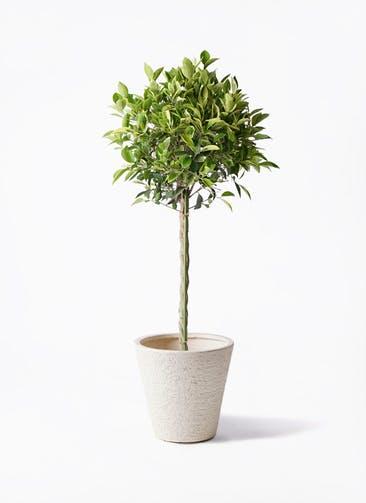 観葉植物 フィカス ベンジャミン 8号 ゴールデンスポット ビアスソリッド 白 付き
