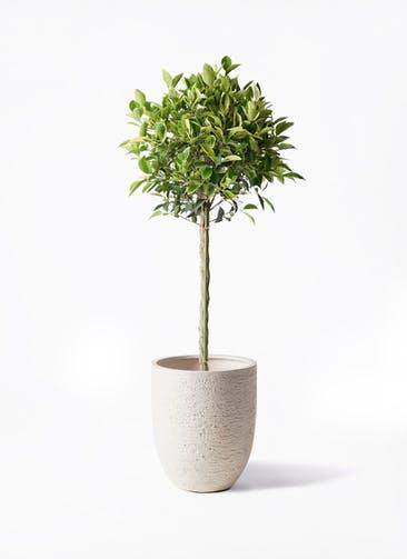 観葉植物 フィカス ベンジャミン 8号 ゴールデンスポット ビアスアルトエッグ 白 付き