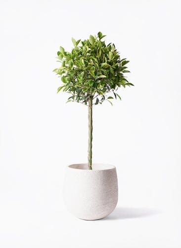 観葉植物 フィカス ベンジャミン 8号 ゴールデンスポット エコストーンwhite 付き
