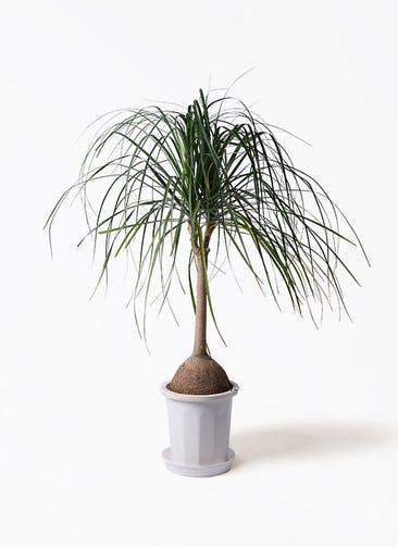 観葉植物 トックリヤシ 10号 プラスチック鉢