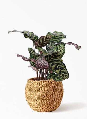 観葉植物 カラテア マコヤナ 4号 アバカバスケット タン 付き
