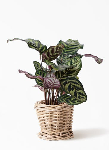 観葉植物 カラテア マコヤナ 4号 グレイラタン 付き