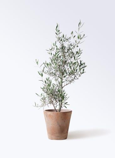観葉植物 オリーブの木 8号 コラティーナ (コラチナ) ルーガ アンティコ ソリッド 付き
