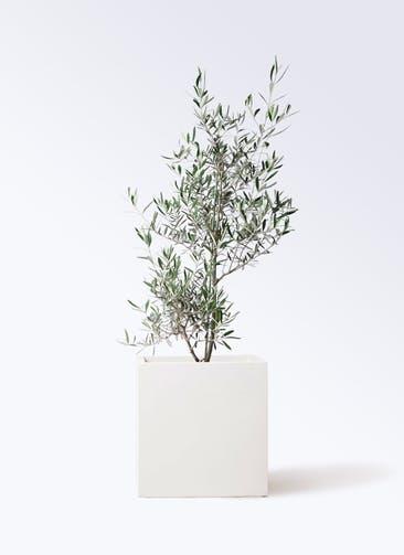 観葉植物 オリーブの木 8号 コラティーナ (コラチナ) バスク キューブ 付き