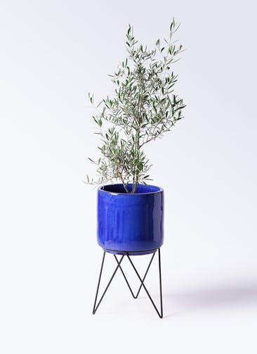 観葉植物 オリーブの木 8号 コラティーナ (コラチナ) ビトロ エンデカ ブルー アイアンポットスタンド ブラック 付き