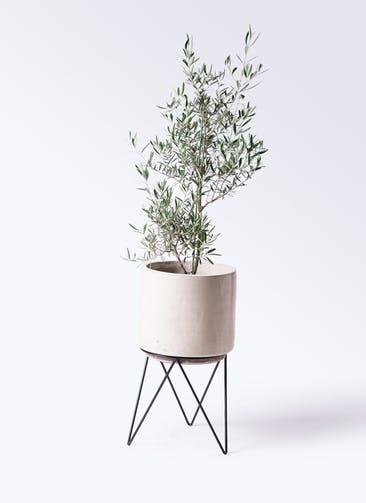 観葉植物 オリーブの木 8号 コラティーナ (コラチナ) ビトロ エンデカ クリーム アイアンポットスタンド ブラック 付き