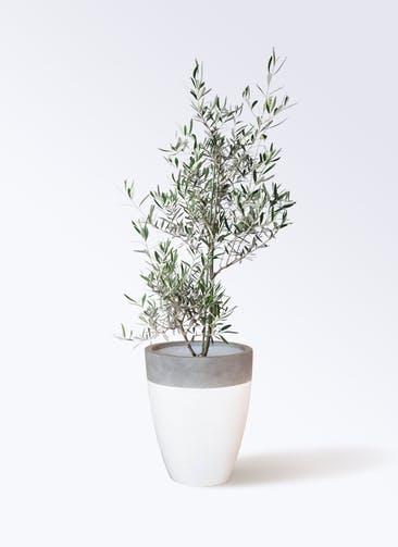 観葉植物 オリーブの木 8号 コラティーナ (コラチナ) ファイバーストーンカプリ 白 付き