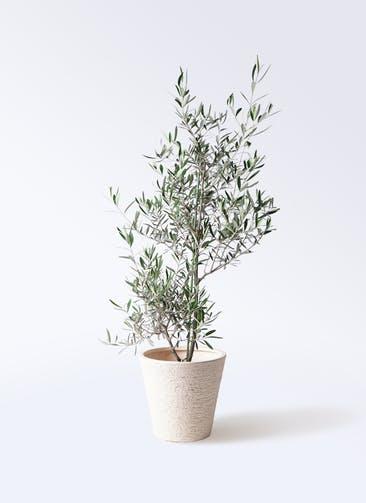 観葉植物 オリーブの木 8号 コラティーナ (コラチナ) ビアスソリッド 白 付き