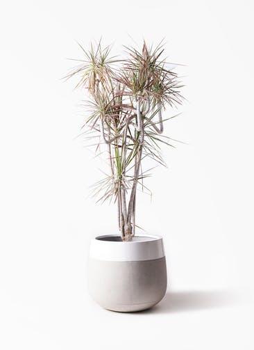観葉植物 ドラセナ コンシンネ レインボー 10号 曲り ファイバーストーンタウルス ミドル 白 付き