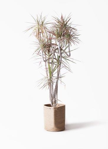 観葉植物 ドラセナ コンシンネ レインボー 10号 曲り リブバスケットNatural 付き