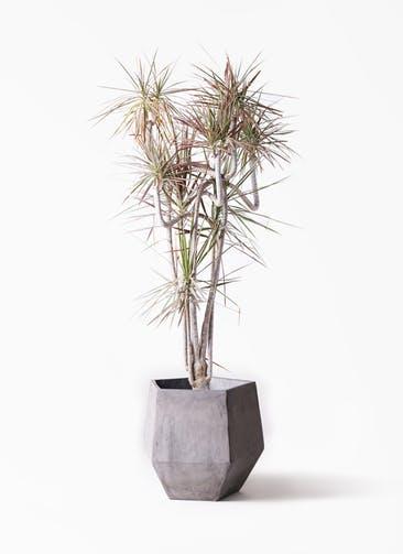 観葉植物 ドラセナ コンシンネ レインボー 10号 曲り ファイバークレイGray 付き