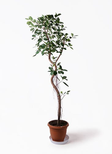 観葉植物 フィカス ジャンボリーフ 10号 プラスチック鉢