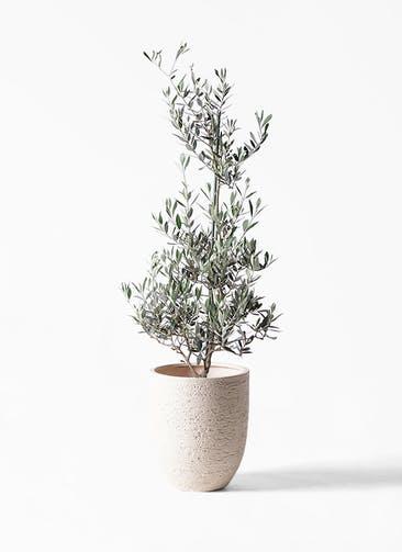 観葉植物 オリーブの木 8号 ピクアル ビアスアルトエッグ 白 付き