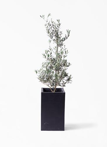 観葉植物 オリーブの木 8号 ピクアル セドナロング 墨 付き
