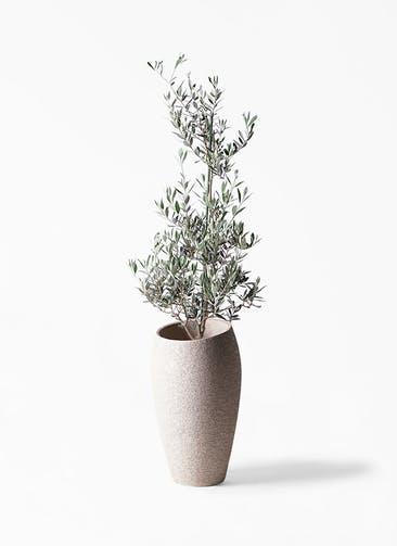 観葉植物 オリーブの木 8号 ピクアル エコストーントールタイプ Light Gray 付き