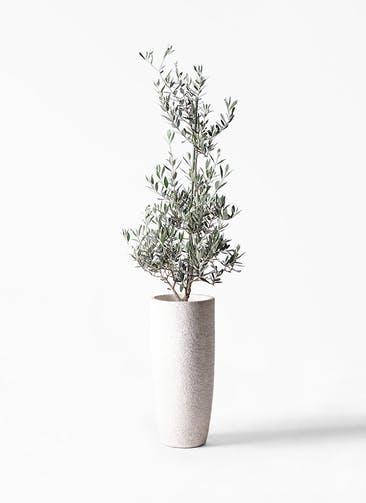 観葉植物 オリーブの木 8号 ピクアル エコストーントールタイプ white 付き