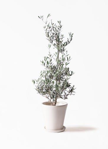 観葉植物 オリーブの木 8号 ピクアル サブリナ 白 付き