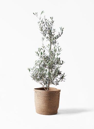観葉植物 オリーブの木 8号 ピクアル リブバスケットNatural 付き