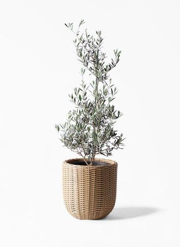 観葉植物 オリーブの木 8号 ピクアル ウィッカーポットエッグ ベージュ 付き