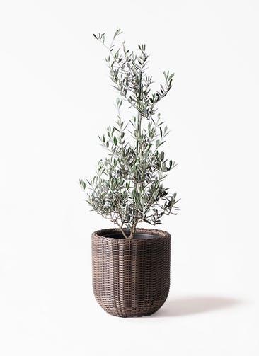 観葉植物 オリーブの木 8号 ピクアル ウィッカーポットエッグ 茶 付き