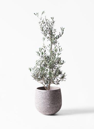 観葉植物 オリーブの木 8号 ピクアル エコストーンGray 付き
