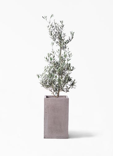 観葉植物 オリーブの木 8号 ピクアル セドナロング グレイ 付き