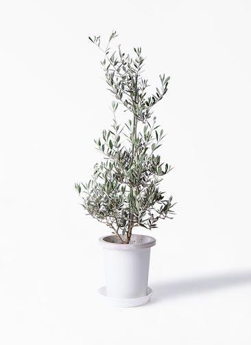 観葉植物 オリーブの木 8号 ピクアル プラスチック鉢