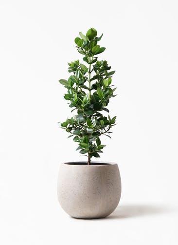 観葉植物 クルシア ロゼア プリンセス 8号 テラニアス ローバルーン アンティークホワイト 付き