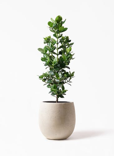 観葉植物 クルシア ロゼア プリンセス 8号 テラニアス バルーン アンティークホワイト 付き