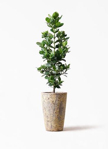 観葉植物 クルシア ロゼア プリンセス 8号 アトランティス クルーシブル 付き
