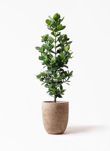 観葉植物 クルシア ロゼア プリンセス 8号 ルーガ アンティコ アルトエッグ 付き