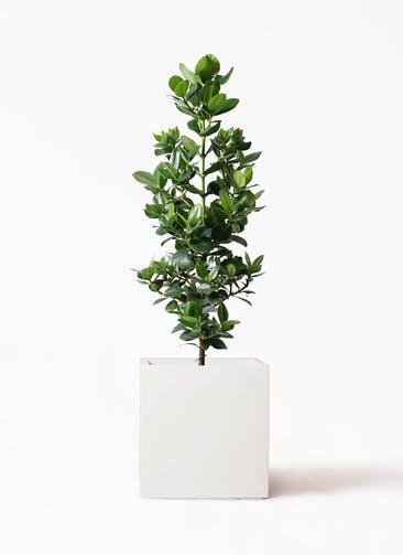 観葉植物 クルシア ロゼア プリンセス 8号 バスク キューブ 付き