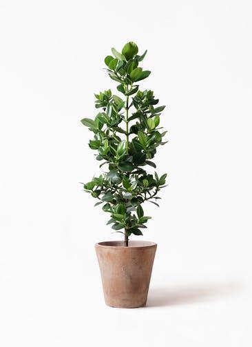 観葉植物 クルシア ロゼア プリンセス 8号 ルーガ アンティコ ソリッド 付き