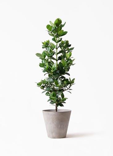 観葉植物 クルシア ロゼア プリンセス 8号 アートストーン ラウンド グレー 付き