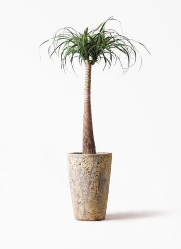 観葉植物 トックリラン ポニーテール 8号 アトランティス クルーシブル 付き