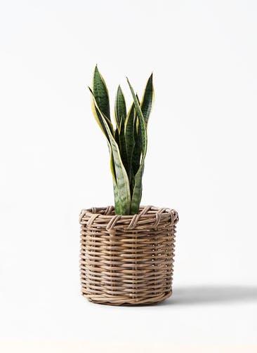 観葉植物 サンスベリア 6号 トラノオ グレイラタン 付き