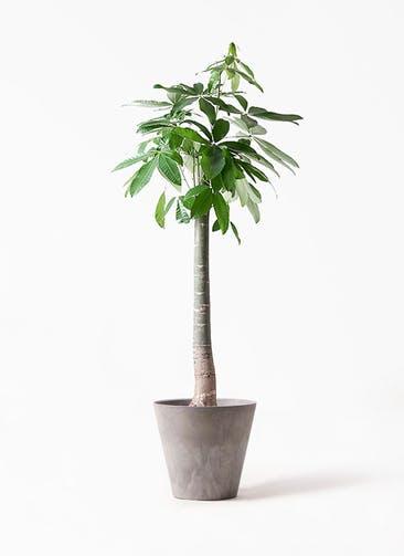 観葉植物 パキラ 10号 朴 アートストーン ラウンド グレー 付き