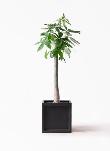 観葉植物 パキラ 10号 朴 ブリティッシュキューブ 付き